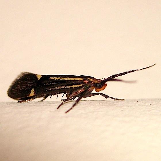 Maybe it's a moth - Esperia sulphurella