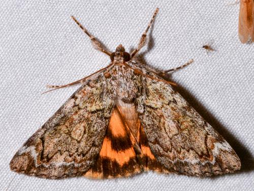 Catocala micronympha? - Catocala