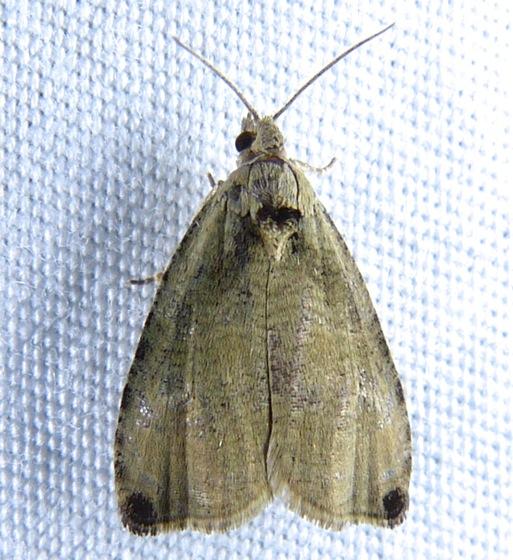 Wretched Olethreutes Moth - Olethreutes exoletum