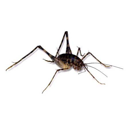 Spider Cricket - Diestrammena asynamora
