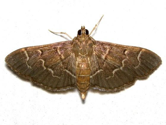 Scraped Pilocrocis - Hodges #5281 - Pilocrocis ramentalis