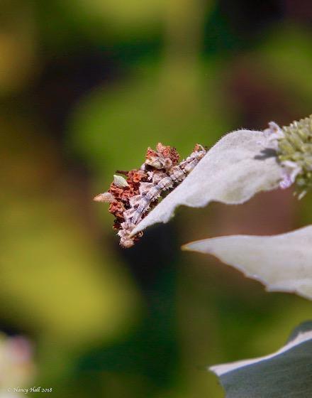 Caterpillar Id - Synchlora