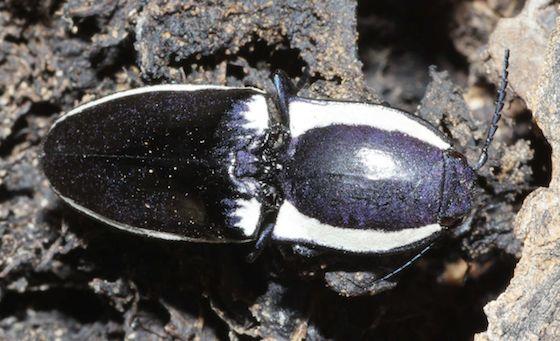 Black-and-white Click Beetle - Chalcolepidius apacheanus