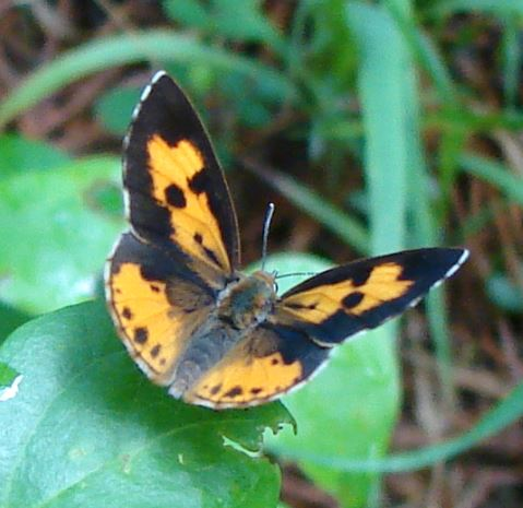 Harvester Butterfly (?) - Feniseca tarquinius