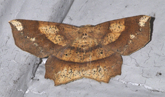 Moth - Euchlaena amoenaria