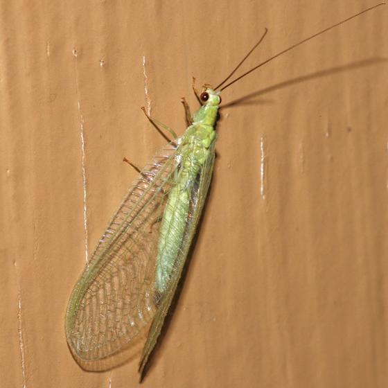 Chrysopa nigricornis ? - Chrysopa nigricornis
