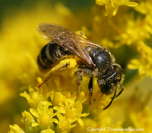 Bee - Halictus ligatus - female