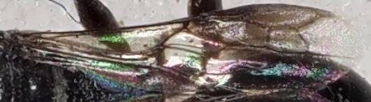 Unknown Hymenopteran - Ampulex