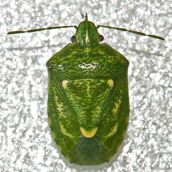 Juniper Stink Bug - Banasa euchlora
