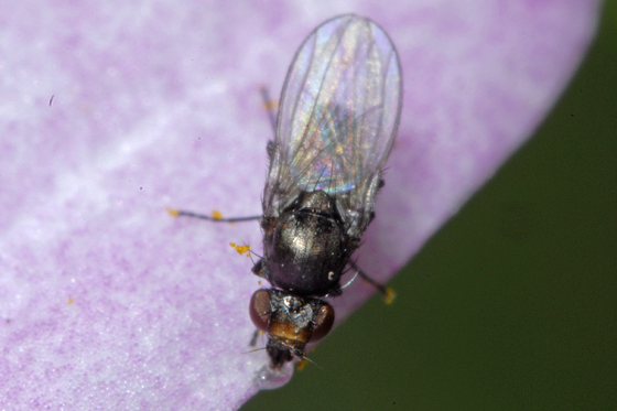 unknown fly - Meoneura