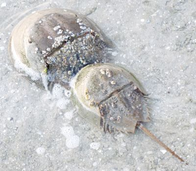 mating Atlantic Horseshoe Crabs - Limulus polyphemus - male - female