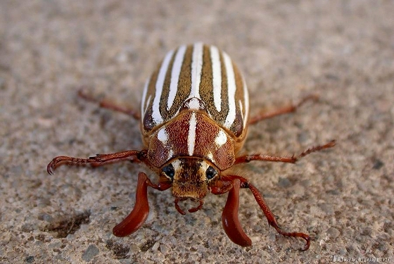 Male Polyphylla decemlineata (Ten-lined June Beetle) - Polyphylla decemlineata - male