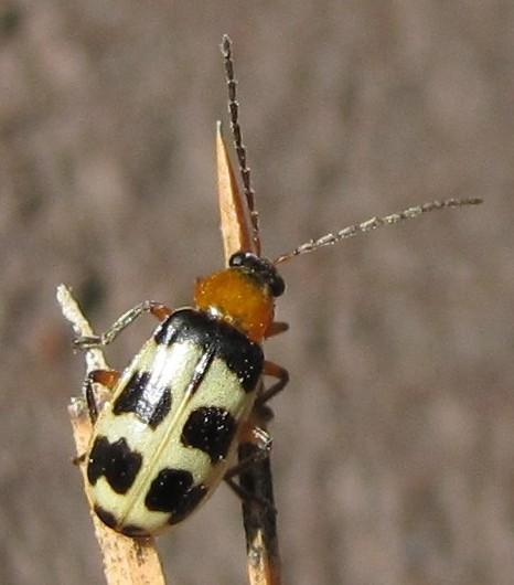beetle - Paranapiacaba tricincta