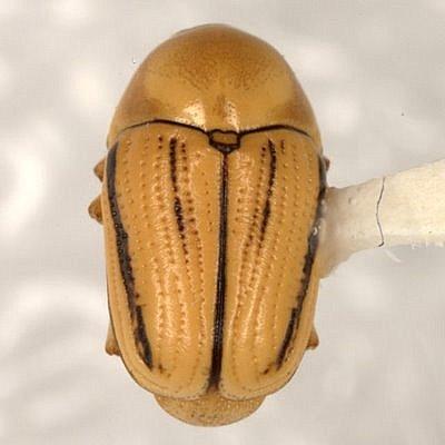 Cryptocephalus albicans Haldeman  - Cryptocephalus albicans