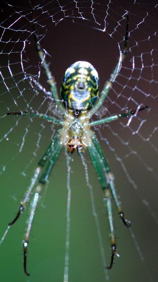 Green and Yellow Spider - Leucauge venusta