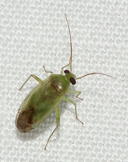 121211Bug1 - Taylorilygus apicalis