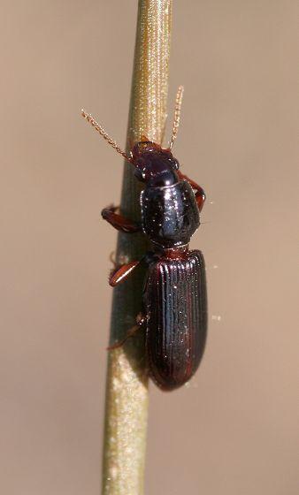 fossorial ground beetle - Clivina fossor