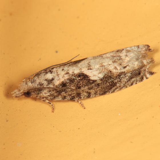 Tortricid moth - Catastega timidella