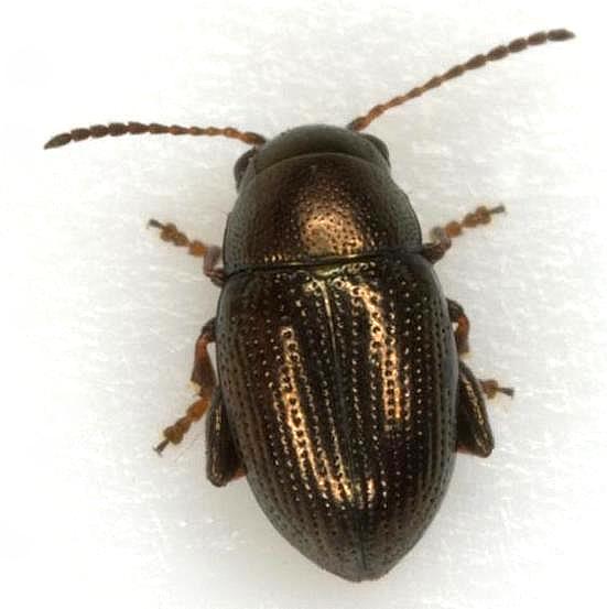 Boca Chica Flea Beetle - Chaetocnema rileyi