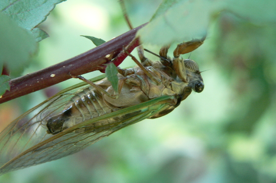 Lyric Cicada - Neotibicen lyricen - male