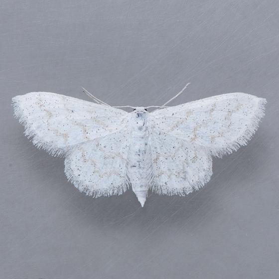 7100   - Lobocleta peralbata