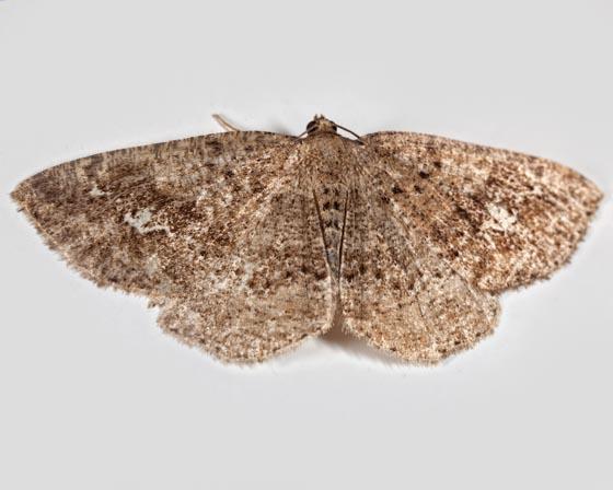 Pale Homochlodes - Homochlodes lactispargaria