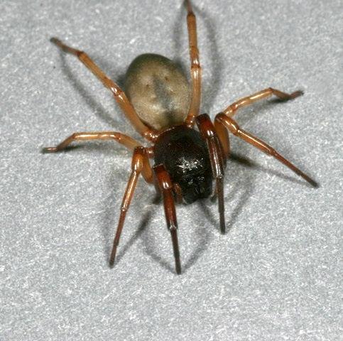 Sac Spider - Trachelas pacificus - female