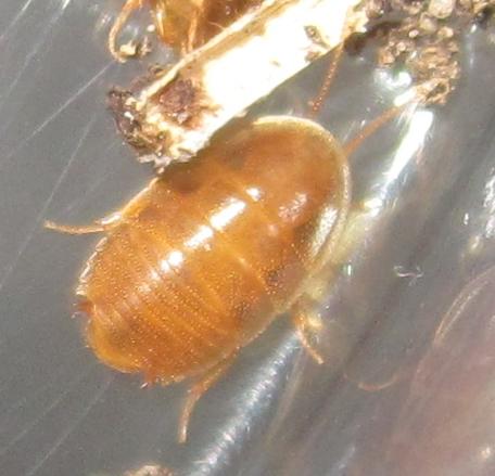 Myrmecoblatta wheeleri - female