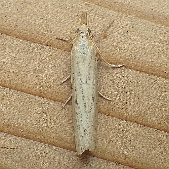 Pyralidae: Coenochroa californiella  - Coenochroa californiella