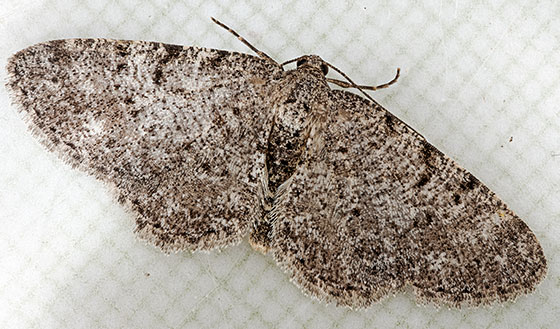 moth - Aethalura intertexta - male