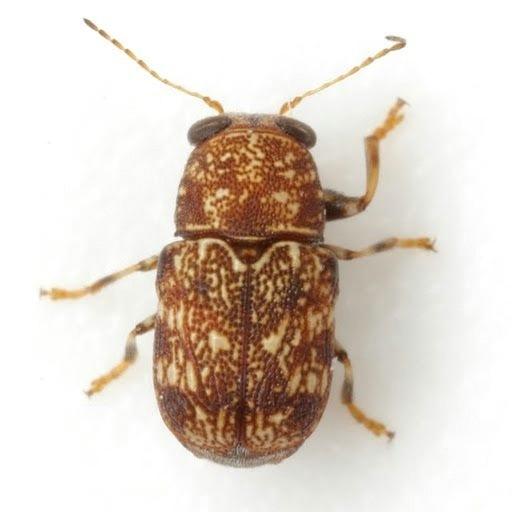 Pachybrachis spumarius Suffrian - Pachybrachis spumarius