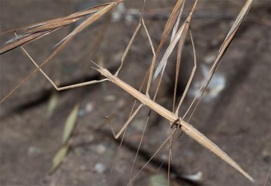 Western Shorthorned Walkingstick - Parabacillus hesperus - female