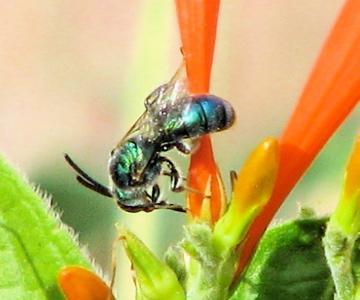 unknown Halictid - Augochlorella - male