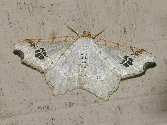 Common Angle Moth - Macaria aemulataria