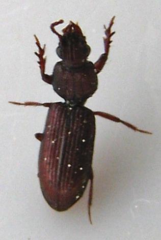ID for Ground Beetle in California? - Schizogenius