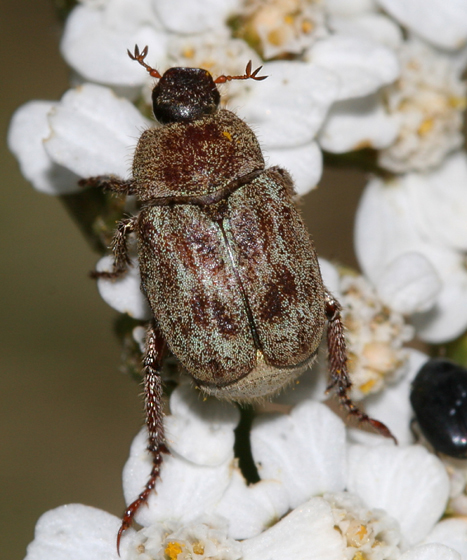 scarab - Hoplia callipyge