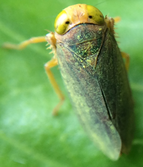 Coppery Leafhopper (Coelidia olitoria)? - Jikradia olitoria