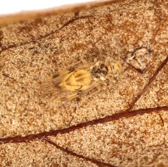 Pseudocaecilius citricola - female