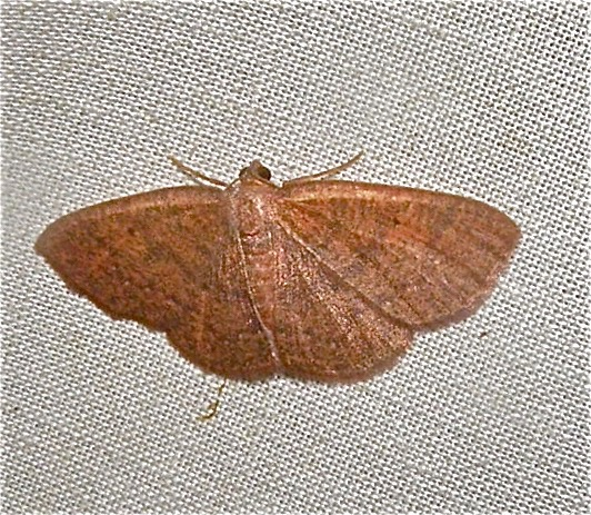 Black-dotted Ruddy Moth - Ilexia intractata
