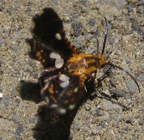 Tiny butterfly-like insect - Thyris maculata