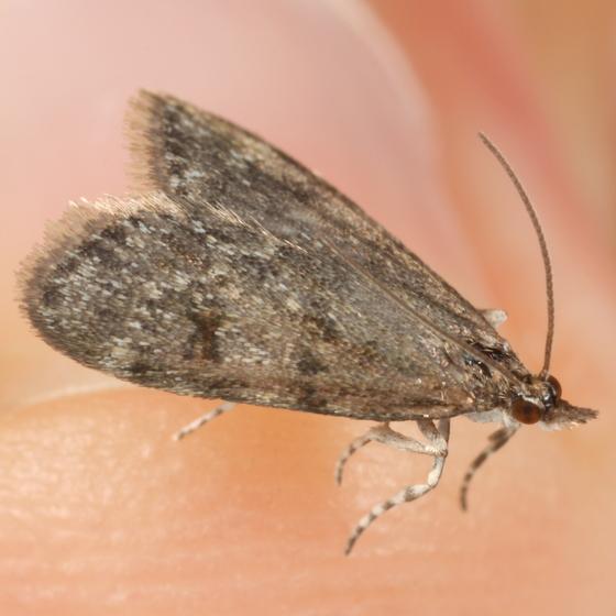 Pyraloid - Scoparia penumbralis
