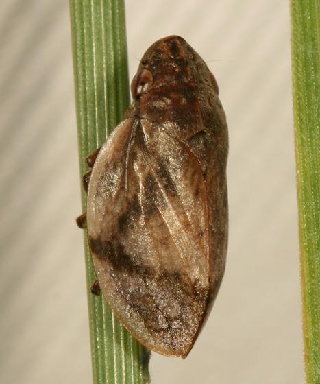 spittlebug - Lepyronia coleoptrata
