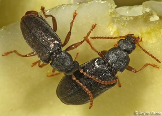 yucca beetle - Mycterus quadricollis - male - female