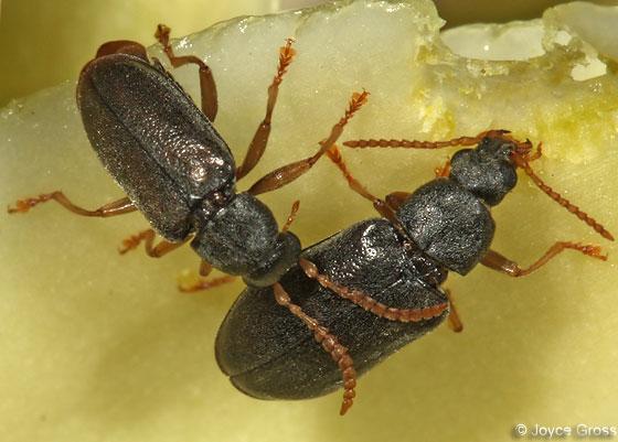 yucca beetle - Mycterus quadricollis - male - female