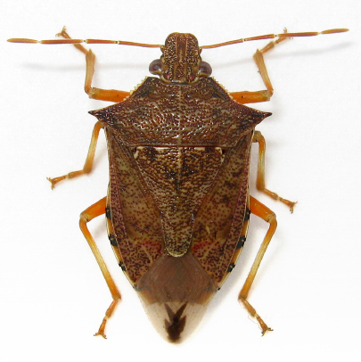 Podisus maculiventris - male
