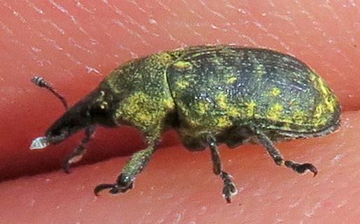 Canada Thistle Bud Weevil - Larinus planus