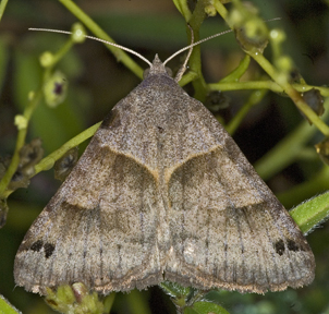 6013609 Noctuid - Caenurgina crassiuscula