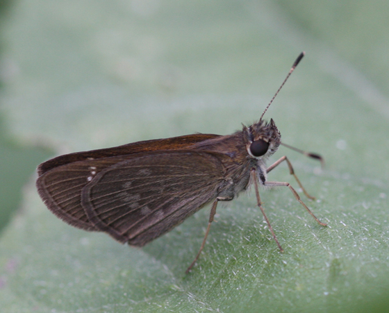 Three-spotted Skipper - Cymaenes tripunctus