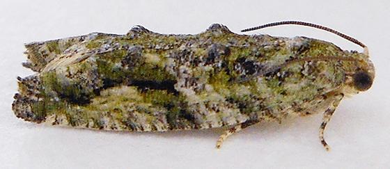 Moth - Proteoteras aesculana