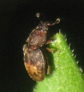 Beetle - Omosita nearctica